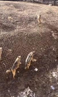 perro cae en jaula